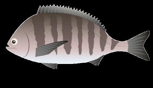 黒鯛(チヌ、キビレ)のイラスト